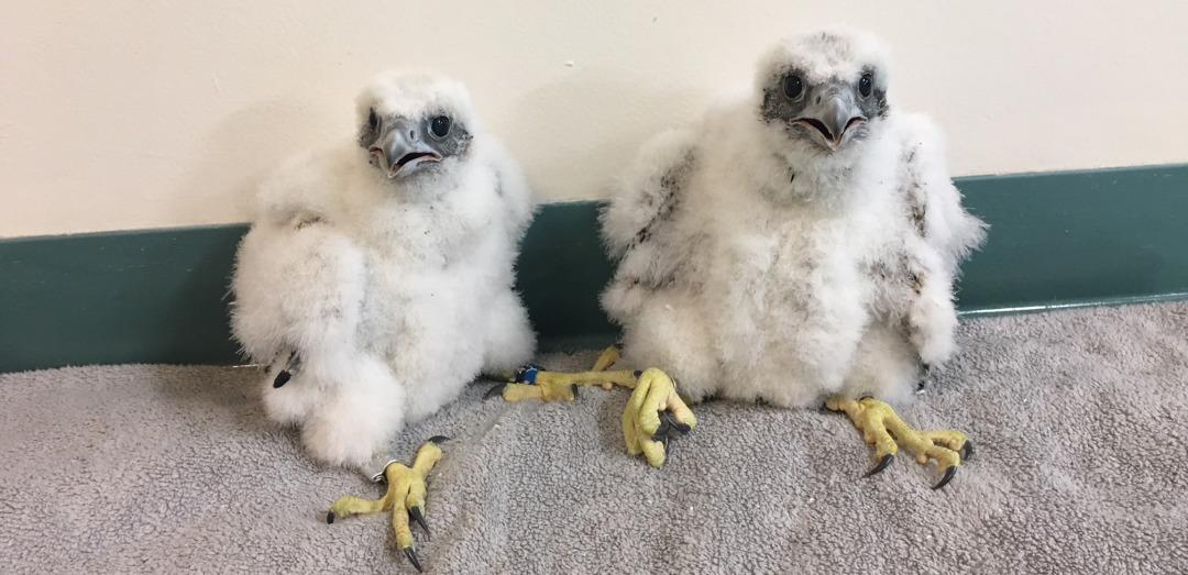 Essity Female Falcons 6.5.18 after banding-long.jpg